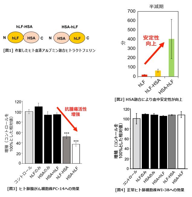 血中安定性、抗腫瘍効果を高めたヒトラクトフェリン製剤を開発 がんや急速進行性糸球体腎炎などのバイオ医薬品として実用化へ-- 東京工科大学応用生物学部